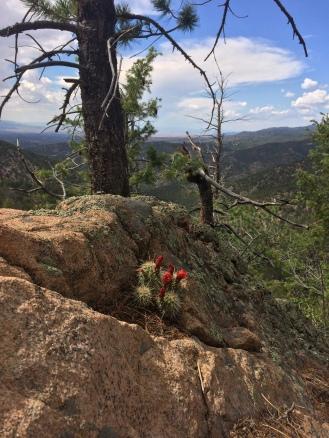 flowering cacti 2